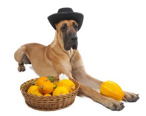 German fawn doggi in studio on a white background with pumpkins
