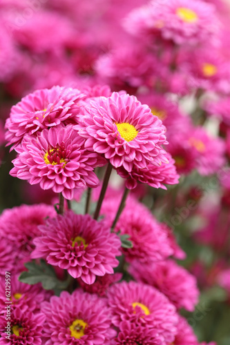 chrysanthemums flowers