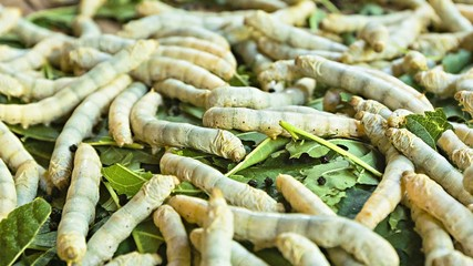 Silkworm caterpillars ready for pupation closeup