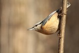 Nuthatch (Sitta europaea) captured twig