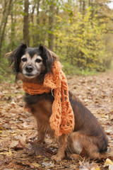 Waiting dog with a scarf in the forest