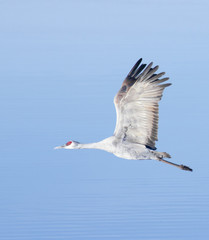 A Sandhill Crane Against the Pale Blue