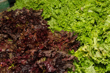 Green and red fresh lettuce
