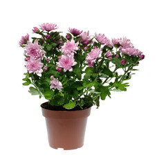 Chrysanthemum flower in pot