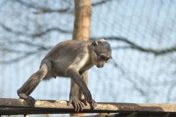 Cercocebus atys monkey