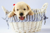 Puppy - portrait of cute labrador puppy in basket