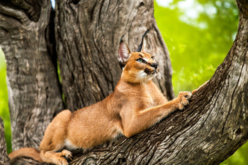 Caracal in tree.