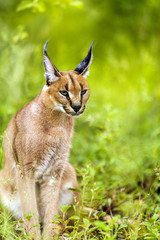 Young male caracal in grass.