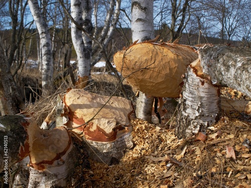 Massive birch trees felled by the beaver