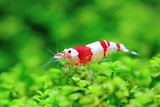 Red freshwater shrimp
