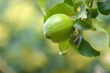 Limone appeso all'albero con foglie _2 dx