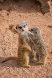 Mother and baby meerkats hugging