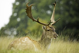 A Stag Sitting in Long Grass (Fallow) - 62142326