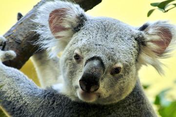 Koalabär, Phascolarctos cinereus, #3000