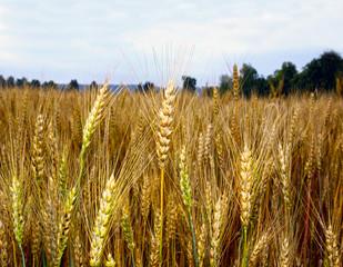 Field of ripe rye