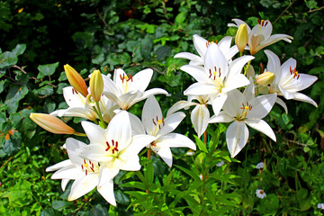 Many flowers and buds of white lilies