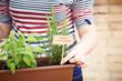Rosemary plant on urban garden