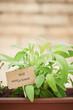 Sage plant on urban garden