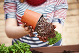 Young woman's hands transplanting parsley