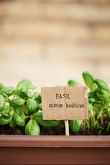 Basil plant on urban garden