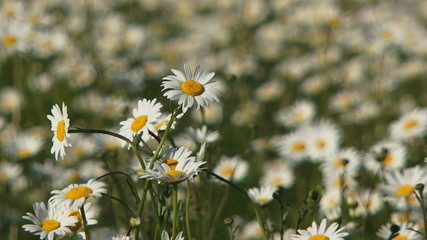 Field of blooming daisies. Close-up