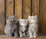group british shorthair kittens looking up - 62151766