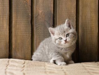 little british shorthair kitten looking at camera