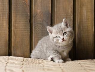 little british shorthair kitten looking at camera