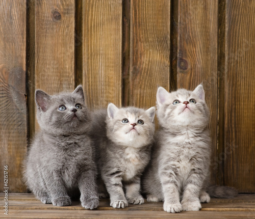group british shorthair kittens looking up