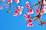 Fototapety Spring Cherry Blossom
