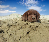 dog retriever on beach
