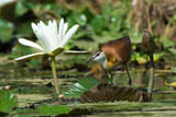 Young African Jacana crouching beside a white lily flower