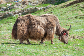 Tibetan yak grazing in the mountain