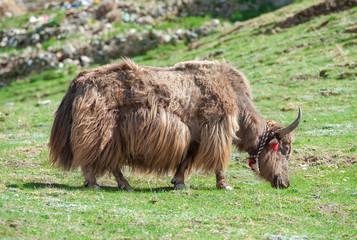 Tibetan yak grazing in the mountain