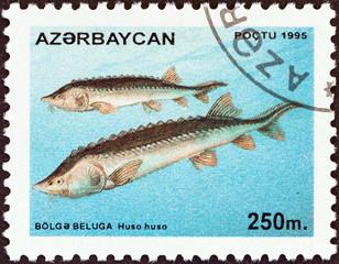 Beluga fishes (Azerbaijan 1995)