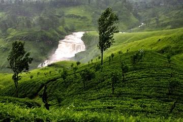 tea agricultural landscape