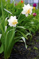 Narcissus poeticus in the garden