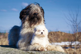 maltese and briard dogs