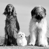 setter, maltese and briard dogs