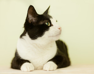 beautiful black and white cat on a light background, in profile