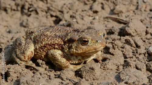 big common toad (Bufo bufo) on garden ground