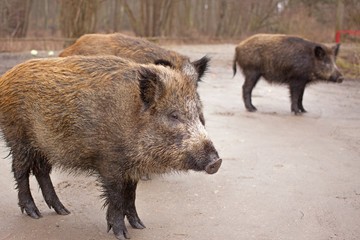 wild boars through a roadside at natural habitat