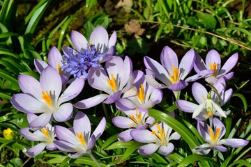 large group of crocusus