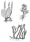 set of three wild herbs sketches isolated on white