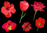 six red flowers isolated on black