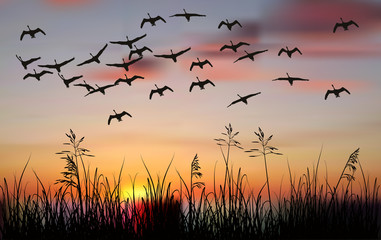 swans above black grass at orange sunset