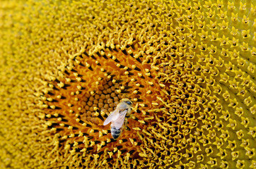 Bee collect pollen from Sunflower