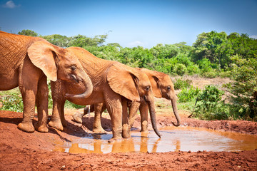 Elephants at the small watering hole in Kenya.