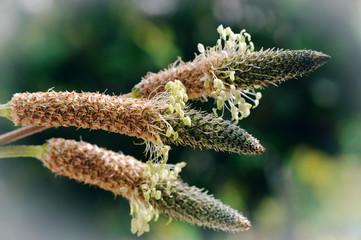 Fleurs de plantain