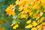 Yellow leaves of a maple in the fall